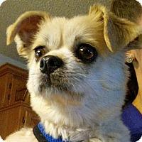 Adopt A Pet :: Bruiser - Chesterfield, MO