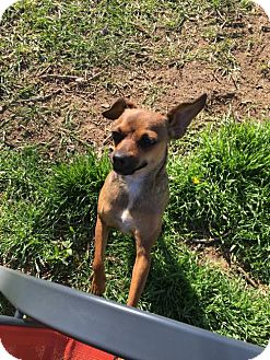 Chihuahua Mix Dog for adoption in C/S & Denver Metro, Colorado - Melanie  1 1/2 Years