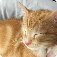 Domestic Shorthair Kitten for adoption in Greensburg, Pennsylvania - Lola
