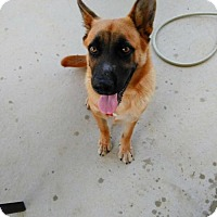 Shepherd (Unknown Type) Dog for adoption in New York, New York - Aramis (A)