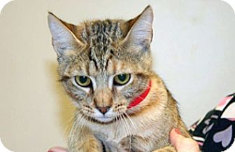 Domestic Shorthair Cat for adoption in Wildomar, California - Betsy