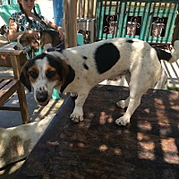 Basset Hound/Terrier (Unknown Type, Medium) Mix Dog for adoption in Acton, California - Annabelle