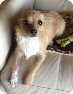 Chihuahua/Terrier (Unknown Type, Small) Mix Dog for adoption in Gilbert, Arizona - Carrie