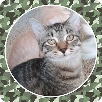 Domestic Shorthair Kitten for adoption in Cedar Springs, Michigan - Acho
