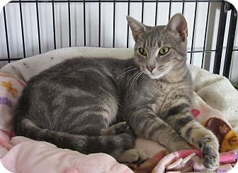Domestic Shorthair Cat for adoption in Glenwood, Minnesota - Syberine