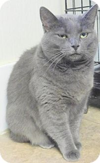 British Shorthair Cat for adoption in Duluth, Minnesota - Penny