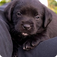 Adopt A Pet :: Harper Lee - Hanover, PA
