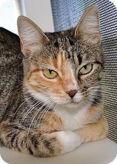 Calico Cat for adoption in Georgetown, Texas - Siren