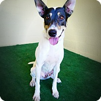 Fox Terrier (Smooth)/Australian Cattle Dog Mix Dog for adoption in Casa Grande, Arizona - Oates