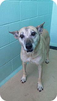 Siberian Husky Mix Dog for adoption in Manteo, North Carolina - Linda