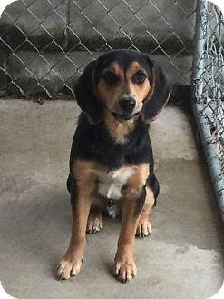 Hound (Unknown Type) Mix Puppy for adoption in Maysville, Kentucky - Milo