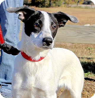 Jack Russell Terrier/Whippet Mix Dog for adoption in Glastonbury, Connecticut - Rosetta Stone~adopted!