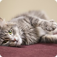 Domestic Longhair Cat for adoption in Chicago, Illinois - Aurora