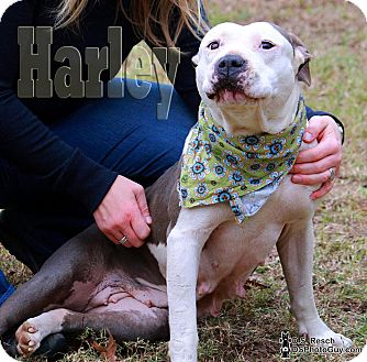 Pit Bull Terrier Mix Dog for adoption in Macon, Georgia - Harley