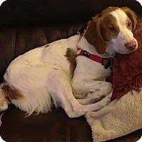 Adopt A Pet :: CO/Scout (ADOPTION PENDING) - Seattle, WA