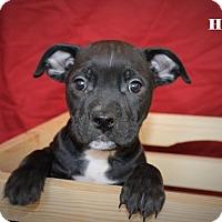 Labrador Retriever Mix Puppy for adoption in Westminster, Colorado - Hank