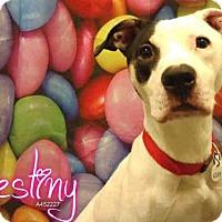 Dogo Argentino/American Bulldog Mix Dog for adoption in Upper Marlboro, Maryland - *DESTINY