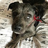 Adopt A Pet :: Boomer - Washington, DC