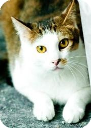 Domestic Shorthair Cat for adoption in Norman, Oklahoma - Henry