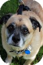 Pug Mix Dog for adoption in Tinton Falls, New Jersey - Freddie