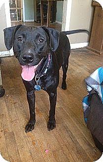 Labrador Retriever Mix Dog for adoption in Pittsburg, Kansas - Junebuggy