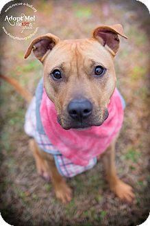 American Pit Bull Terrier Mix Dog for adoption in Staatsburg, New York - Marnie