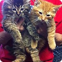 Adopt A Pet :: Kittens - batlett, IL
