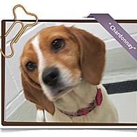 Adopt A Pet :: Chardonnay - Portland, OR