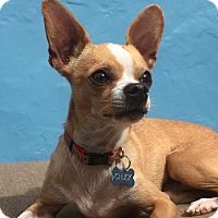 Adopt A Pet :: Chuck - Burbank, CA