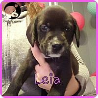 Adopt A Pet :: Leia - Novi, MI