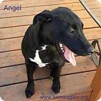 Adopt A Pet :: Angel - Bloomington, MN