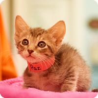 Domestic Shorthair Kitten for adoption in Dallas, Texas - Paz