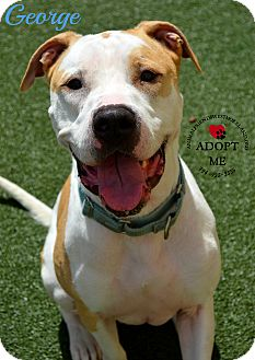American Bulldog Mix Dog for adoption in Youngwood, Pennsylvania - George