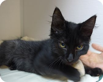 Domestic Shorthair Kitten for adoption in Manning, South Carolina - Oscar