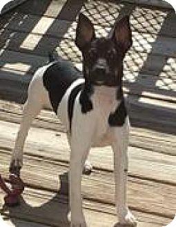 Rat Terrier Dog for adoption in Bloomington, Illinois - Sabrina