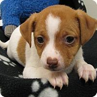 Adopt A Pet :: Willy Wonka - Groton, MA