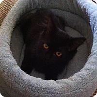 Domestic Longhair Kitten for adoption in Lombard, Illinois - Delilah