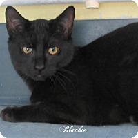 Adopt A Pet :: Blackie - Jackson, NJ
