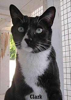 Domestic Shorthair Cat for adoption in Fullerton, California - Clark