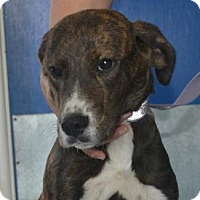 Plott Hound Mix Puppy for adoption in Chester Springs, Pennsylvania - Bohdi