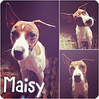 Adopt A Pet :: Maisy - St Clair Shores, MI