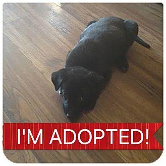 Labrador Retriever/Shepherd (Unknown Type) Mix Puppy for adoption in Regina, Saskatchewan - Jett