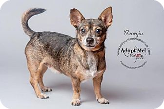 Chihuahua/Terrier (Unknown Type, Medium) Mix Dog for adoption in Lake Worth, Florida - Georgia