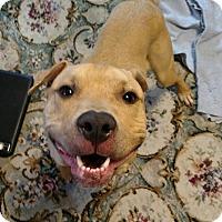 Adopt A Pet :: Hoshi - Sharon Center, OH
