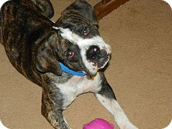 American Bulldog/Boxer Mix Dog for adoption in Phoenix, Arizona - Ferdinand