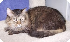 Maine Coon Cat for adoption in Colorado Springs, Colorado - K-Price20-Joy
