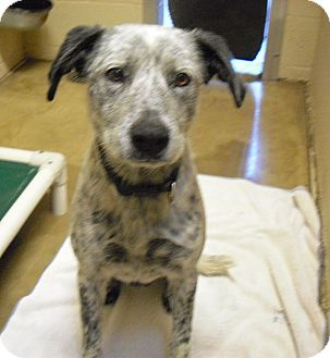 Australian Cattle Dog Mix Dog for adoption in Wickenburg, Arizona - Rex