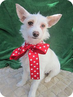 Westie, West Highland White Terrier/Terrier (Unknown Type, Small) Mix Puppy for adoption in El Cajon, California - NADIA (HW)