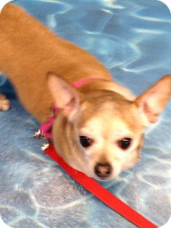 Chihuahua Dog for adoption in Ogden, Utah - Muffin