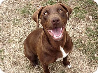 German Shorthaired Pointer/Labrador Retriever Mix Dog for adoption in ...